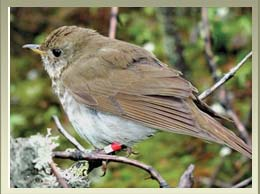 Bicknell Thrush Birding Package