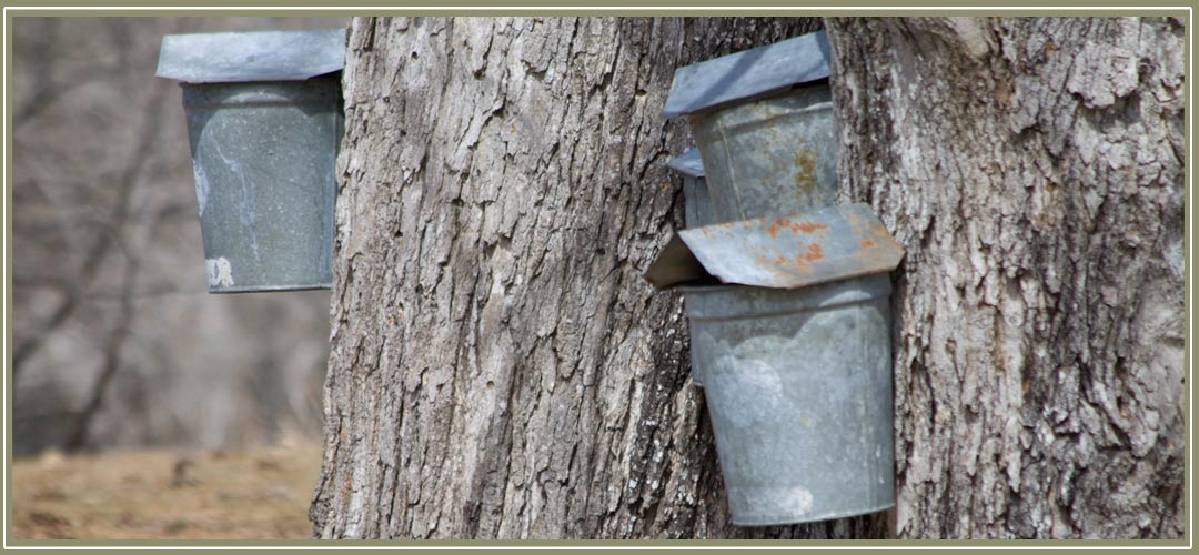 Maple sap buckets on the trees