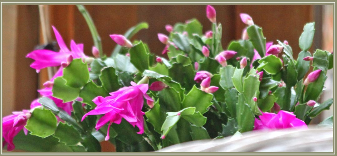 Relax in the sunroom and enjoy the view and Christmas cactus in bloom